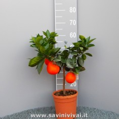 Pianta di Arancio Fragola in vaso 20 cm