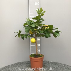 Pianta di Cedro Piretto in vaso 20 cm