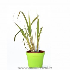 Pianta di Citronella Lemon Grass (Cymbopogon Citrato) in vaso 14