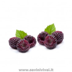 Lampone Ibrido Mora Nero (RUBUS OCCIDENTALIS) Black Javel